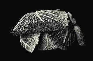 Half a Cabbage by Tiziano Micci
