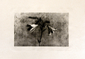 Lily by José Manuel Ballester