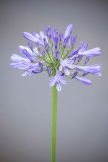 agapanthus, mon amour by Atman Victor