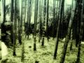 Serie Japan / Autumm'09: Arashiyama' bambues II by Sonia A. Alzola