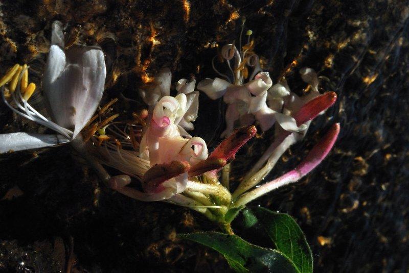 Spirit of Honeysuckle by Brandan
