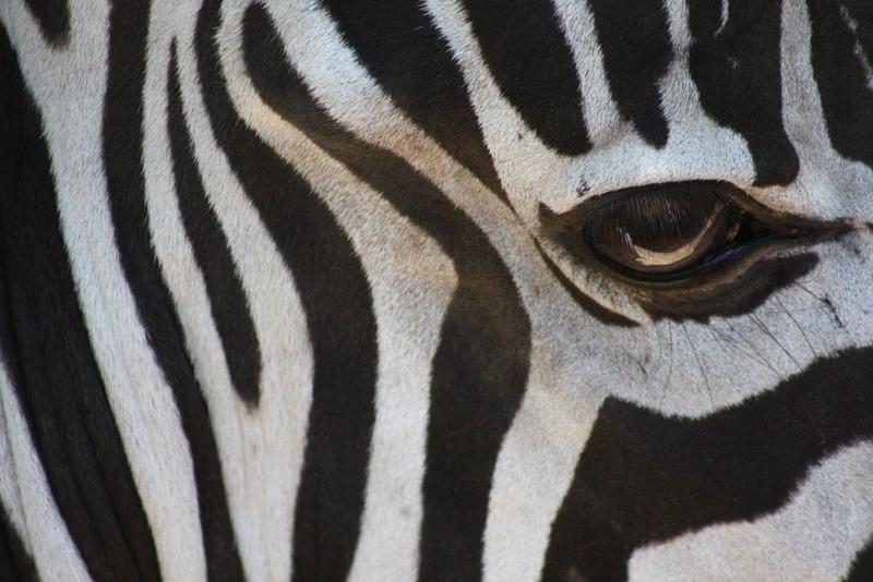 zebra eye by Federico Swarovski