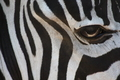 zebra eye by Federico Swarovski