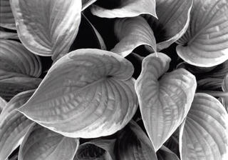 Hosta Leaves 3 by Ahmed Sirry