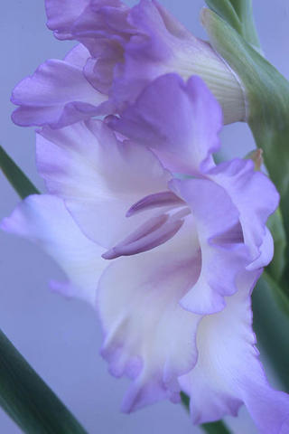 Gladiolus Lavender by Larry Friedman