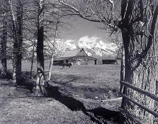Moulton Barn Cow by Larry Friedman