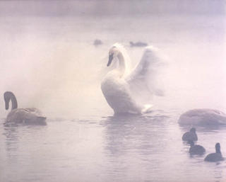 Foggy Swan by Larry Friedman