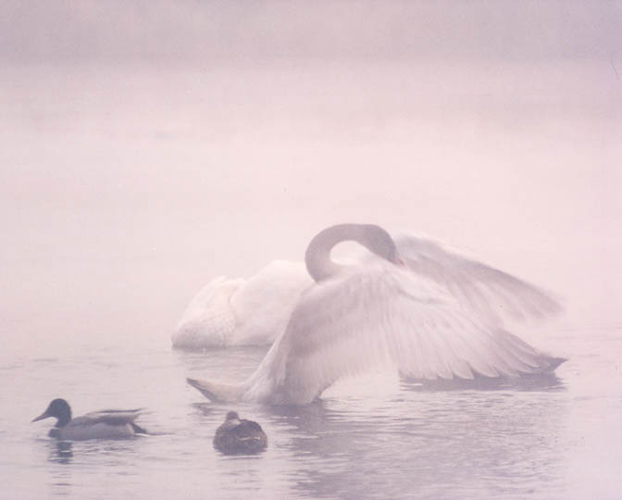 Early Morning Swan by Larry Friedman