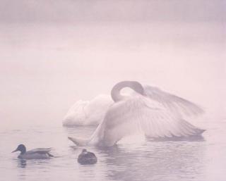 Early Morning Swan by Larry Friedman