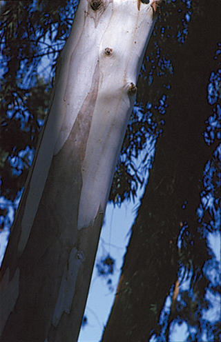Eucalyptus by David Gallant
