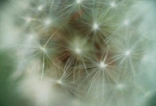 Dandelion Seed by Marilyn Robertson
