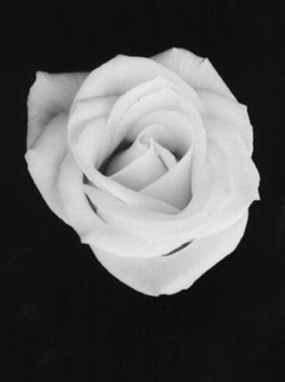 Rose by Ramón Sans