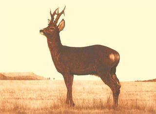 The Deer by Luis Aribayos