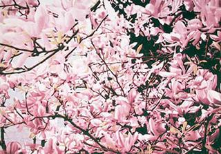 Magnolia II by John D'Orazio