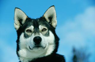 Alaskan Husky by Thomas Sbampato