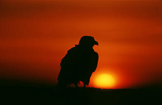 Bald Eagle Silhouette by Thomas Sbampato
