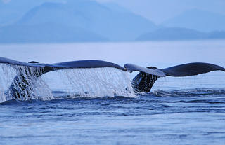 Whale Ballet by Thomas Sbampato
