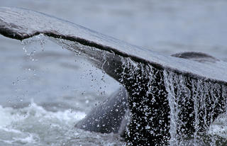 Whale Fluke by Thomas Sbampato