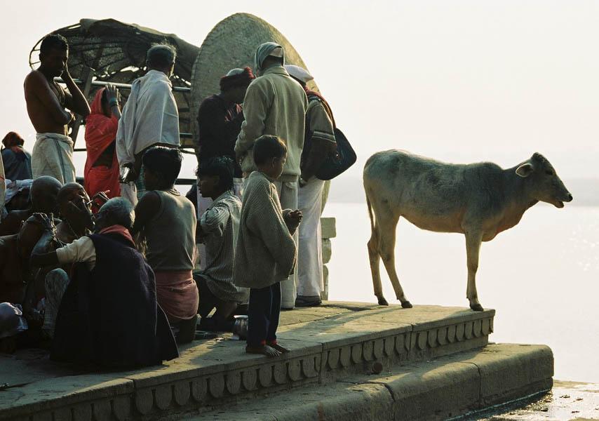 Calf Watcher, Varanasi, India by Jamie Ball