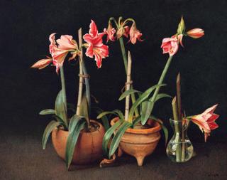 Amaryllis by Félix Beristain
