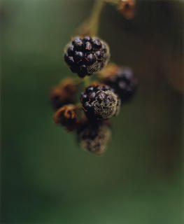 English Garden - Blackberry mold by Robert Davies