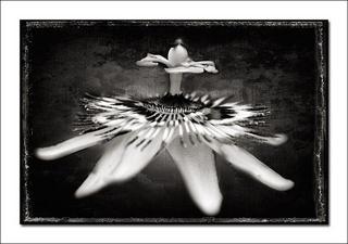 Passion Flower by Alberto Perez Veiga