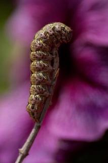 Microkosmos-Art Series: Scepter and Caterpillar by Verónica Heusch